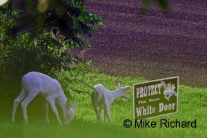 Twin white fawn reading sign