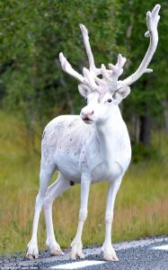 white-reindeer-mala-sweden-oct-2016