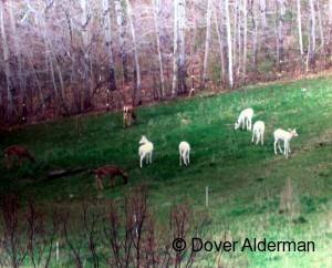 five_white_deer