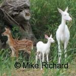 whitedeer