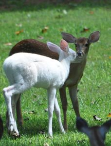 White Deer-Regena's Fawns