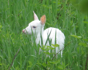 White Fawn-Standing in Grass-Crop