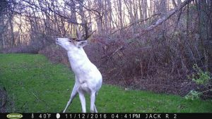 white-deer-bear-valley-buck-12-4-16