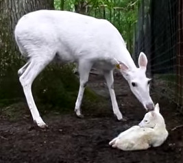White Deer-White Mom and Fawn Video Freeze-Cropped