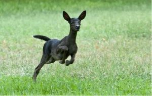 White Deer-Black-Melanistic Fawn
